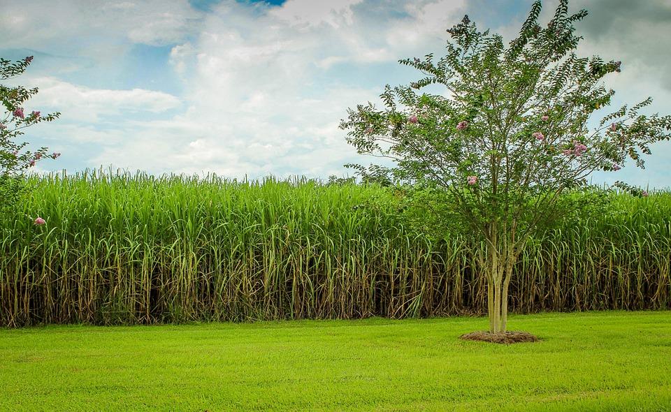 Ribeirão Preto sedia conferência para abertura da safra de cana, açúcar e etanol